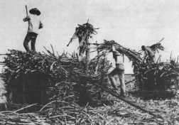 Chinese_contract_laborers_on_a_sugar_plantation_in_19th_century_Hawaii-(WC)
