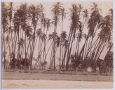 Coconut grove c.1895
