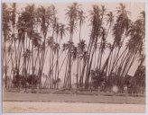 Coconut grove c.1895