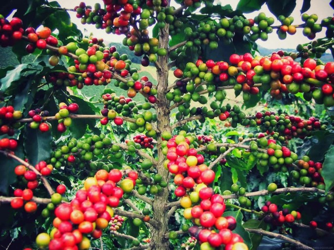 Coffee-Tree