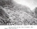 Driving Cattle up Pali Trail to Market - 1887