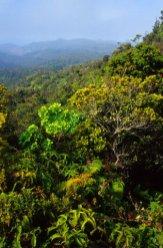 Native forest, Alakai Plateau, Kauai