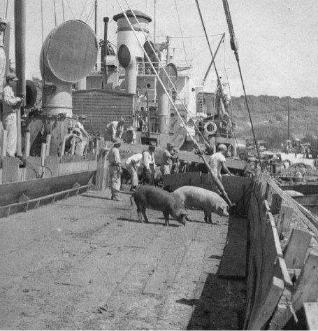 Hawaii Pigs arriving at Okinawa