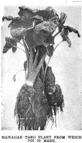 Hawaiian_Taro_Plant-1920