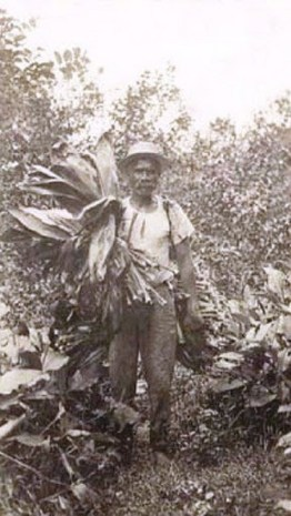 Hawaiian_man_gathering_leaves_for_luau,_c._1915