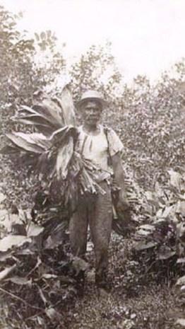 Hawaiian_man_gathering_leaves_for_luau,_c._1915
