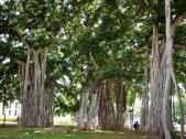 Iolani Palace - Banyan
