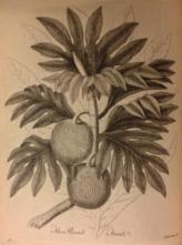 John Ellis, the Bread-fruit-1775