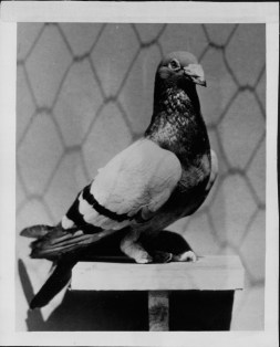 John Silver-carrier pigeon that served in World War I-PP-4-8-011-1935