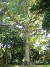 Kapok Tree, Ceiba pentandra