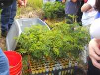 Koa-seedlings-HFI