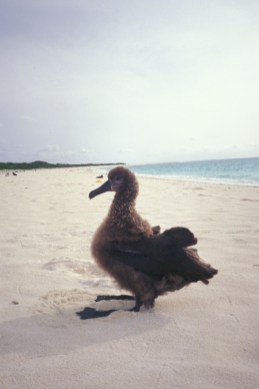 Kure-blackfoot albatross chick-(Forest & Kim Starr)