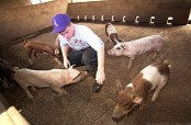 Lahainaluna boarding student Josh Arata, 16, a senior from Ha'iku, tends to the 5-month old pigs-(advertiser)