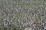 Laysan Albatross (Dan Maxwell)