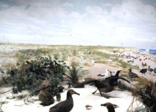 Laysan Island Cyclorama-Black-footed Albatrosses-UIowa