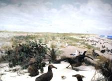 Laysan Island Cyclorama-Black-footed Albatrosses-UIowa