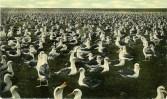 Laysan-albatrosses