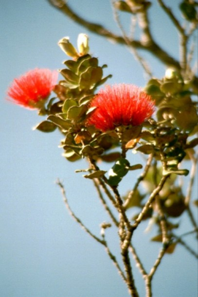Lehua_blossoms