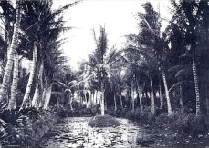Liliy_pond_and_coconut_groves_at_Ainahau