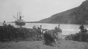 Loading Cattle-Napoopoo-early 1900s-DLNR