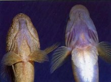 On left has regular pelvic fins- on right has a suction cup instead of pelvic fins