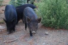 Pig-Puaa
