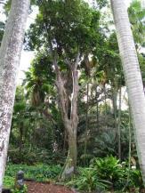 Pili Nut Tree, Canarium vulgar