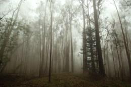 PoliPoli-cloud forest-Tamarack