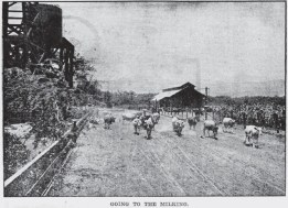 Pond Cows going for milking-Diamond Head-Adv-June 4, 1905