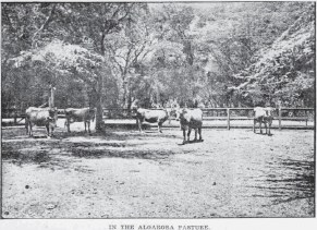 Pond Cows in kiawe pasture-Diamond Head-Adv-June 4, 1905