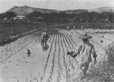 Rice_fields_workers_beneath_Punchbowl_Crater,_Honolulu,_in_1900