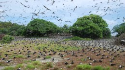 Sooty-tern-colony_Palmyra-Atoll_Susan-White_USFWS