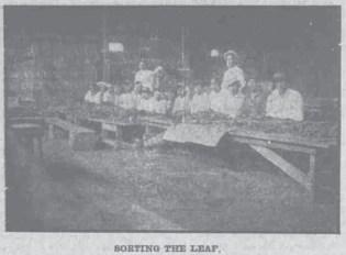 Sorting the Leaf-HawaiianGazette-07-25-1911