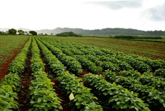Soy bean crop on Kauai