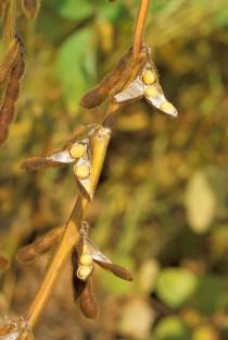 Soybean-USDA