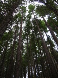 Starr_041221-1944_Sequoia_sempervirens