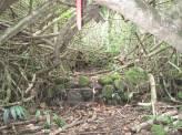 Stepped terrace walls under hau trees, Kahaluʻu Taro Loʻi-(WC)