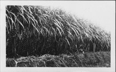 Sugar Cane in Field-UH-Manoa-Library
