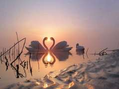 Swans_heart