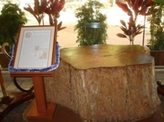 Tamarind Tree Trunk-Pauahi-KSBE