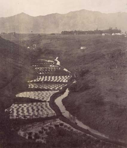 Taro patches near Lihue, Kauai-Mitchell-BishopMuseum-ca. 1886.