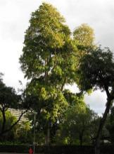 Tattele Tree, Pterogota alata