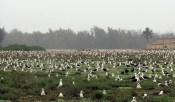 albatross_nesting_midway-NOAA