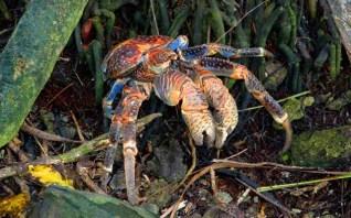 Coconut crab, Sand Island; Palmyra Atoll