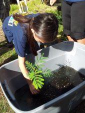 gel-dipping-koa-seedlings-HFI