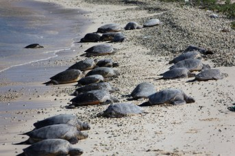 green_turtles_midway-NOAA