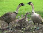 nene-family