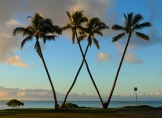waialae-country-club-palm-tree-w