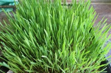 wheatgrass, growing fast in the hot weather