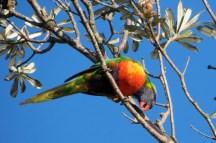 rainbow lorikeet up in the tree